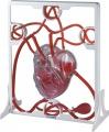 Srdce - pumpa